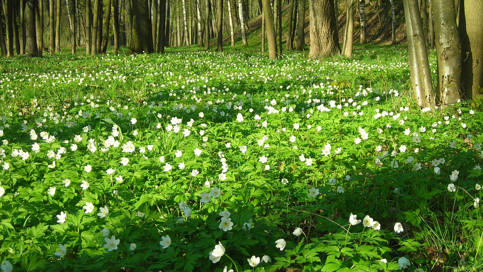 Цветы весенние в лесу